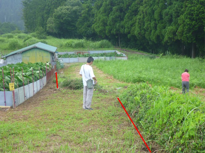 Left-lateral offset tea plant hedge