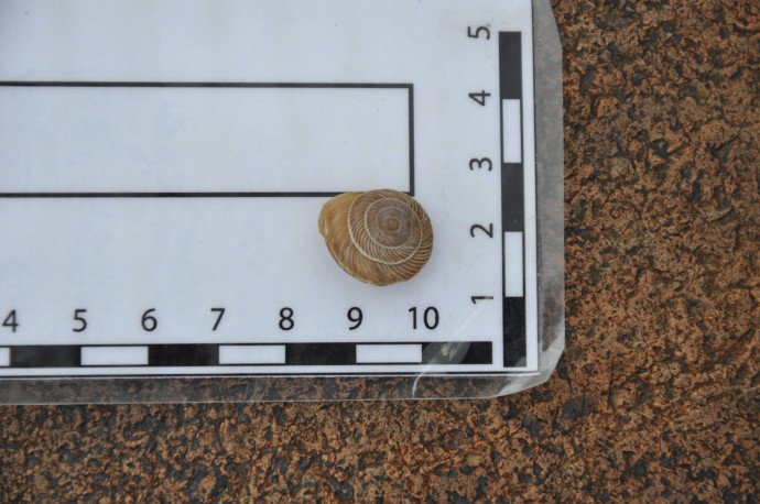 A recent snail of the same species that we found in the pits. We will date this one, too, to find out about the inheritance of the samples. That is, snail shells might appear older than they actually are, and we can correct for this effect by dating one which should have age zero and see how old it appears to be using radiocarbon.